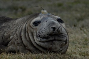 elephant seal WCS