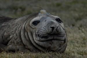 elephant seal WCS